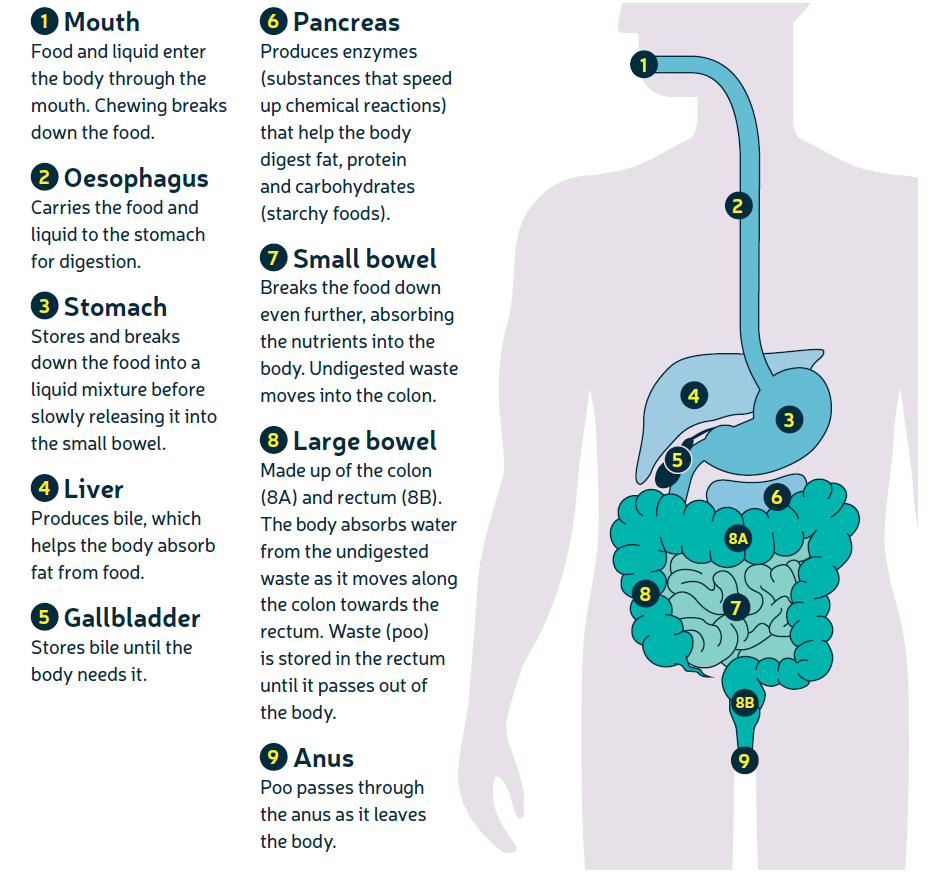 How Your Bowel Works About Bowel Cancer Bowel Cancer Uk